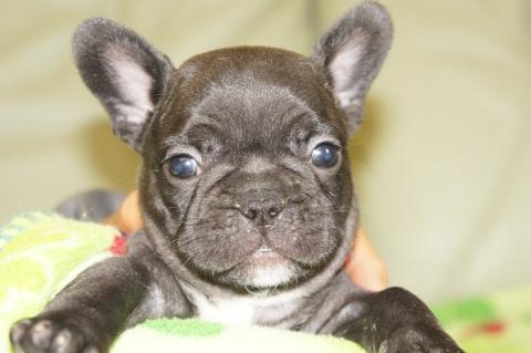 フレンチブルドッグの子犬201304112