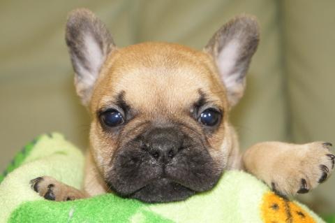 フレンチブルドッグの子犬201304113