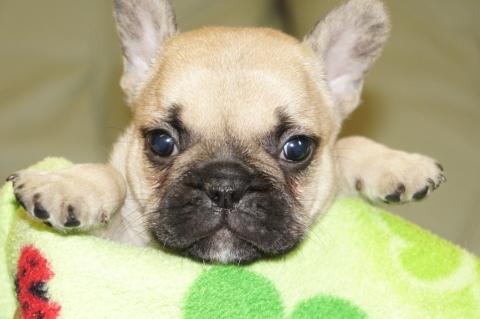 フレンチブルドッグの子犬201304114