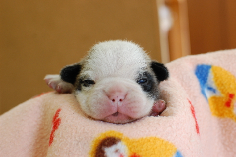 フレンチブルドッグの子犬の写真