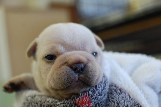 フレンチブルドッグのクリームの子犬の写真