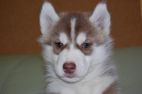 シベリアンハスキーの子犬201203011