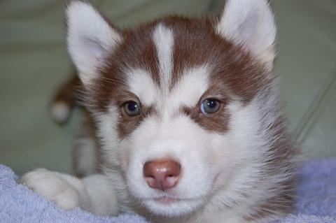 シベリアンハスキーの子犬201203012