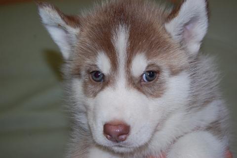 シベリアンハスキーの子犬201203013