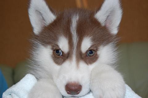 シベリアンハスキーの子犬201202222