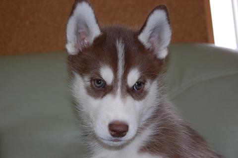 シベリアンハスキーの子犬201202223