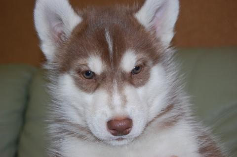 シベリアンハスキーの子犬201202224