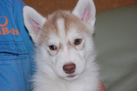 シベリアンハスキーの子犬201202225