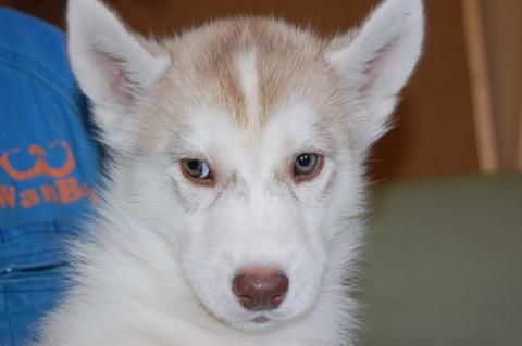 シベリアンハスキーの子犬201202221