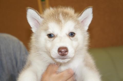 シベリアンハスキーの子犬201208242
