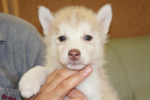 シベリアンハスキーの子犬201208243