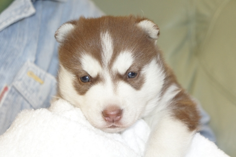 シベリアンハスキーの子犬201212311