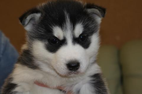 シベリアンハスキーの子犬201212312