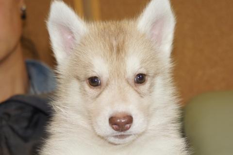 シベリアンハスキーの子犬201303282