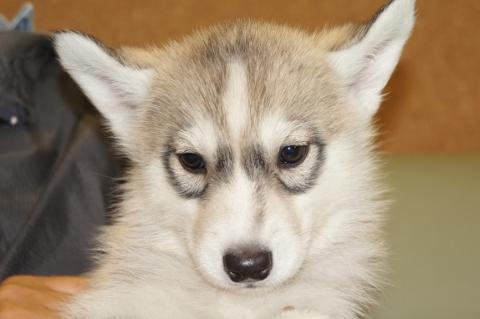 シベリアンハスキーの子犬201303284