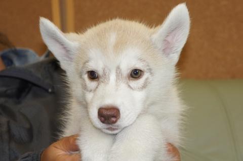 シベリアンハスキーの子犬201303185