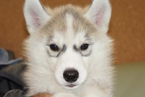 シベリアンハスキーの子犬201303181