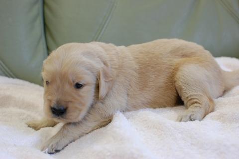 ゴールデンレトリバーの子犬の写真201306184-2