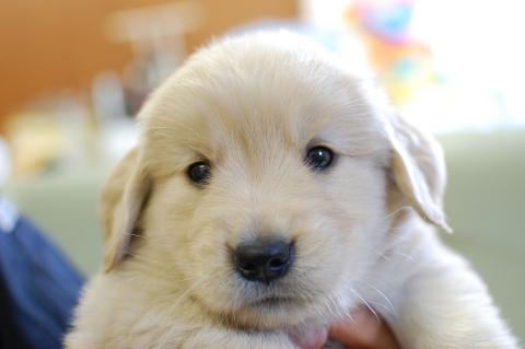 ゴールデンレトリバーの子犬201306185