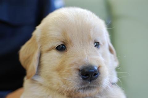 ゴールデンレトリバーの子犬201306181