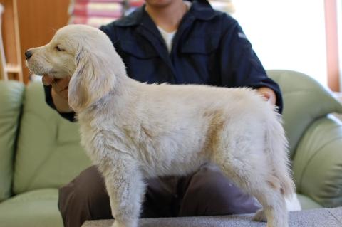 ゴールデンレトリバーの子犬の写真201306183-2