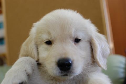 ゴールデンレトリバーの子犬201307162