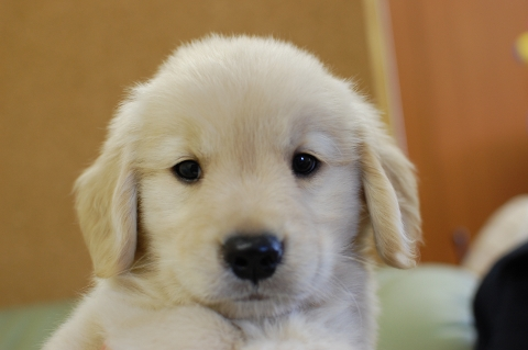 ゴールデンレトリバーの子犬201307161