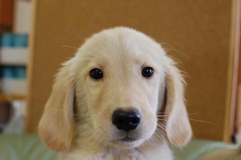 ゴールデンレトリバーの子犬の写真201306184