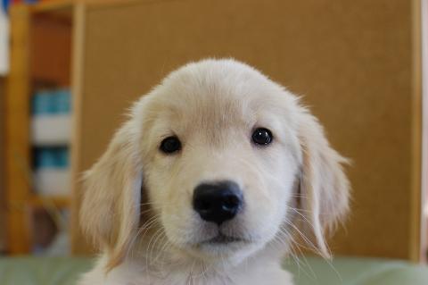 ゴールデンレトリバーの子犬201307164