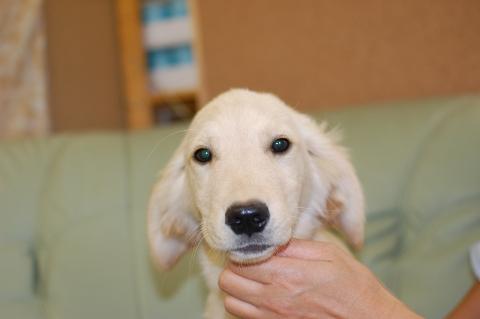 ゴールデンレトリバーの子犬201306184