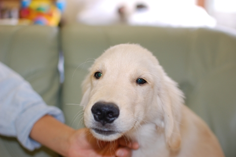 ゴールデンレトリバーの子犬の写真201306183