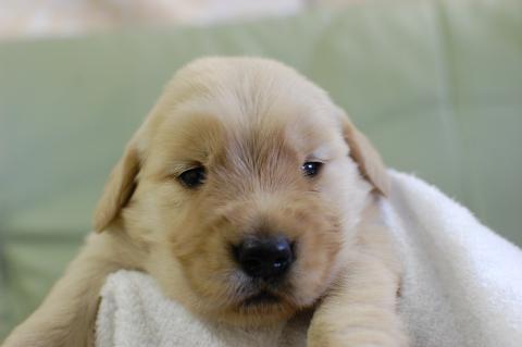 ゴールデンレトリーバーの子犬の写真2