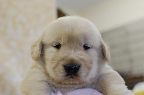 ゴールデンレトリーバーの子犬の写真