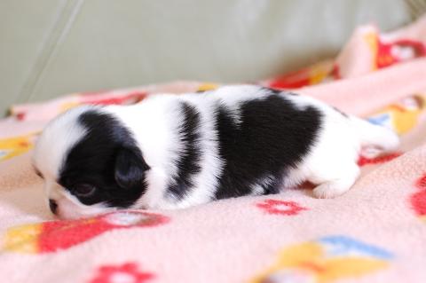 狆の子犬の写真201308251-2