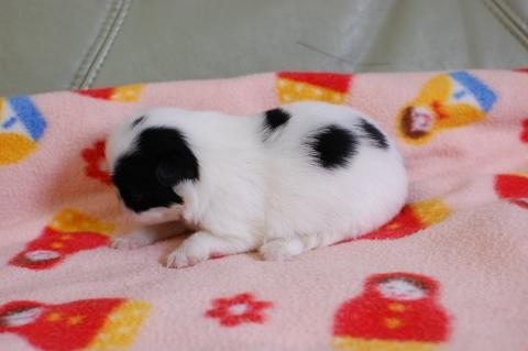 狆の子犬の写真201308254-2