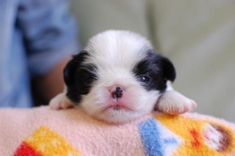 狆の子犬の写真201308255