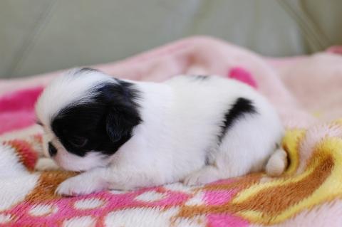 狆の子犬の写真201308253-2