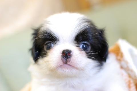 狆の子犬の写真201308252