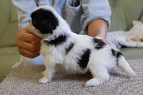 狆の子犬の写真201308252-2