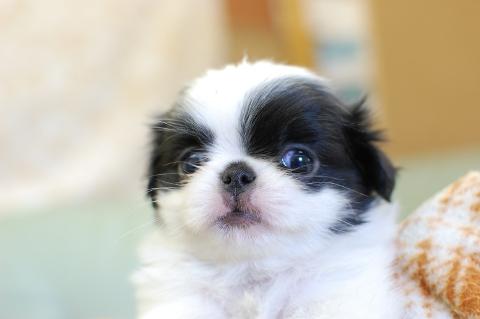狆の子犬の写真201308253
