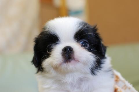 狆の子犬の写真201308251